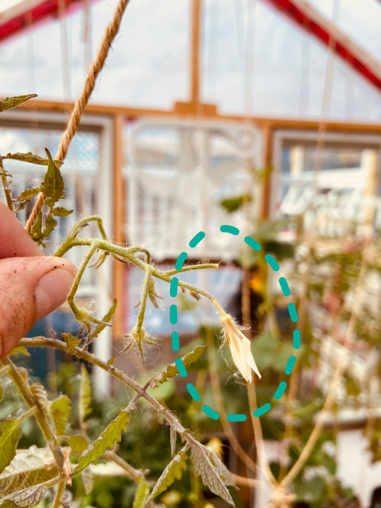 Blossom Drop on tomato in Yellowknife Market Garden due to bad temperatures and humidity